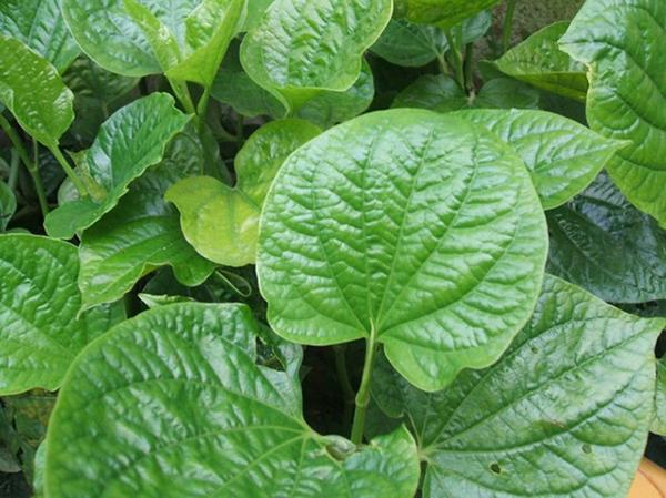 thường sử dụng kết hợp lá lốt với một số vị thuốc khác như rễ cỏ xước, lá xương sông, rễ bưởi bung