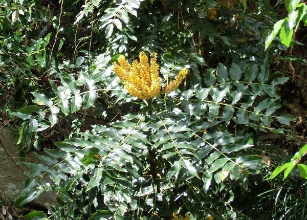 Đặc điểm thực vật cây mật gấu