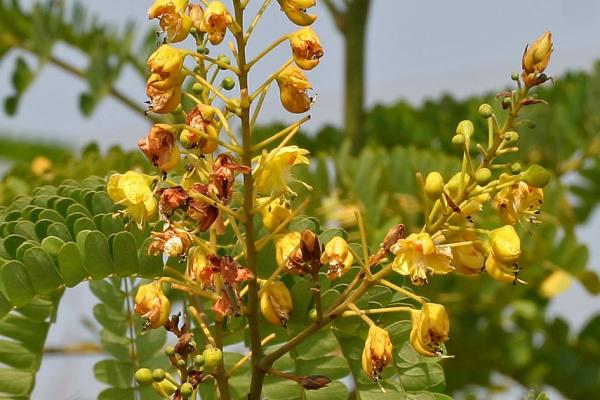 Hoa cây thuốc Tô mộc