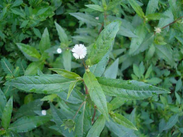 Bài thuốc Đông Y từ cây cỏ mực an toàn và hiệu quả