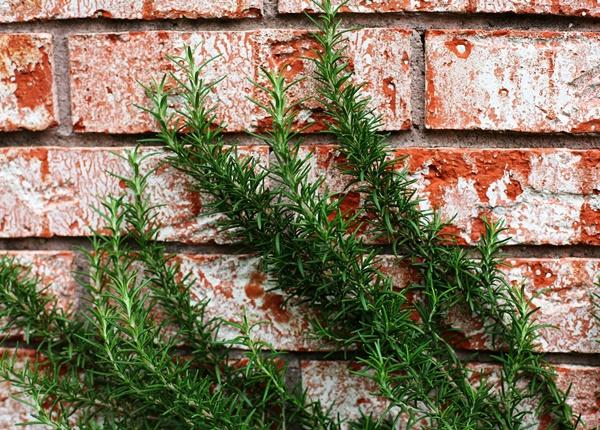 Tác dụng của cây hương thảo