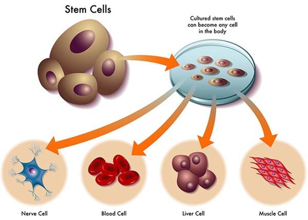 Vai trò và nguồn gốc của tế bào gốc