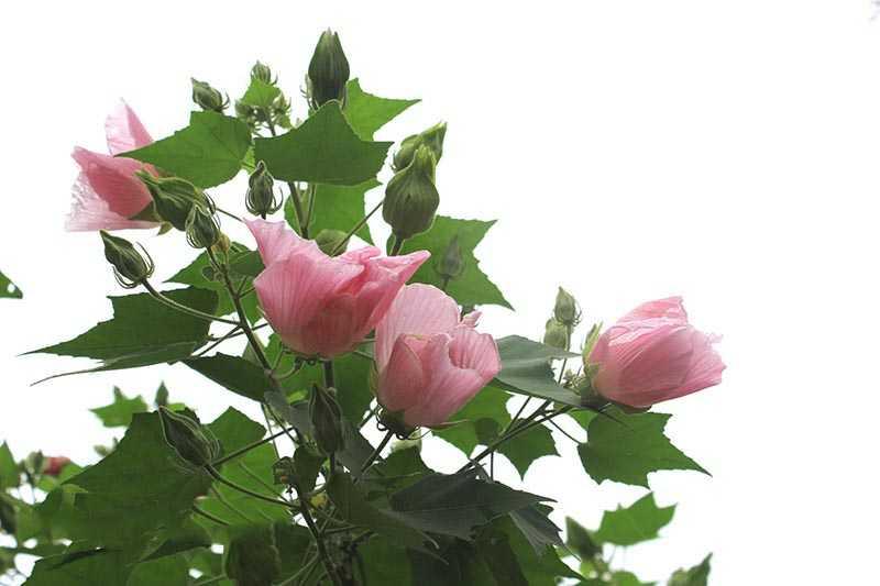 Hoa và lá phù dung được dùng làm thuốc