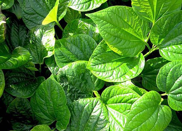 Lá lốt một trong những loại lá quen thuộc với người dân Việt
